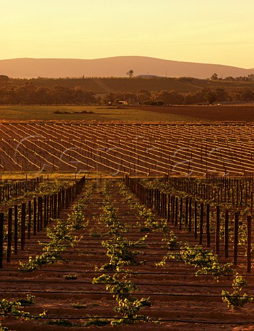 Irrigation pipes in young vineyards on Richmond Grove estate owned by Orlando Cowra New South Wales Australia