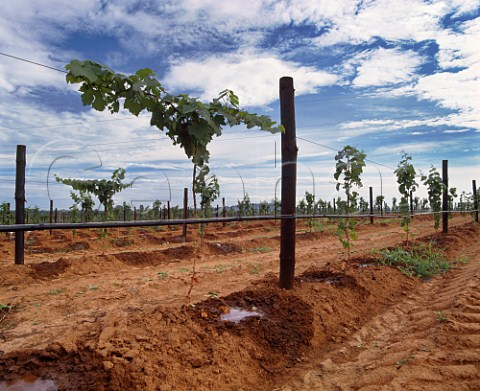 Drip irrigation of young vines on   Richmond Grove estate owned by Orlando   Cowra New South Wales Australia