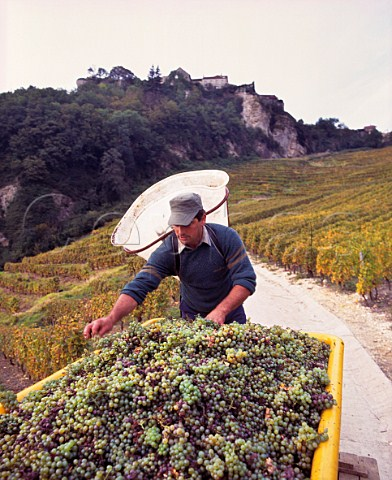 JeanPierre Salvadori with Savagnin grapes from his Les Terraces des Puits StPierre vineyard high on the slopes below the hilltop village of ChteauChalon Jura France  ChteauChalon