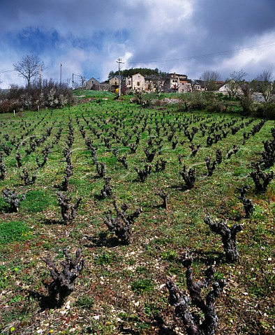 Vineyard in the early spring below the village of Compeyre Aveyron France Ctes de Millau