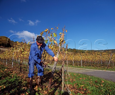 Winemaker repairing the wires in his vineyard at Forst Pfalz Germany