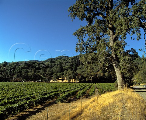 Riesling vineyard of Cole Ranch near Ukiah Mendocino Co   California      Cole Ranch AVA