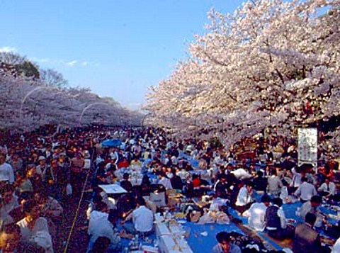 Hanami Cherry blossom viewing parties in   Ueno Park   Tokyo  Japan