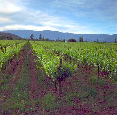 Vineyard with the Coastal Range beyond  Sagrada Familia Chile  Maule