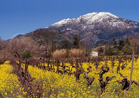 Springtime mustard flowering in vineyard below the snow dusted peak of Mount StHelena 4450   ft at the north end of the Napa Valley Calistoga California USA