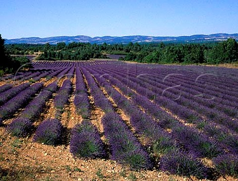 Lavender field on the Plateau dAlbion Vaucluse   France   Provence