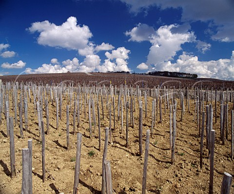 Bollingers Croix Rouge vineyard in midApril Planted entirely en foule the grapes from the ungrafted Pinot Noir vines are used for their Vieilles Vignes Franaises  Bouzy Marne France   Champagne