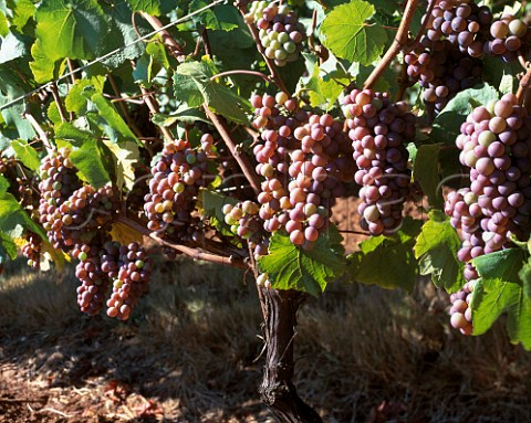 Pinot Gris grapes of King Estate Eugene  Oregon USA  Willamette Valley