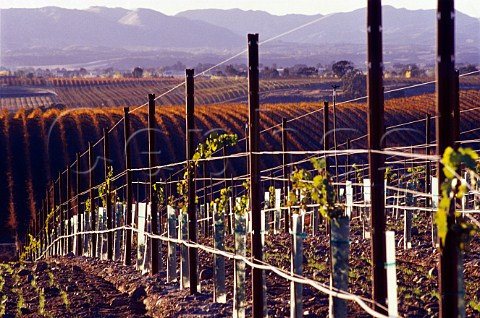 Newlyplanted vineyard of Meridian near   Paso Robles San Luis Obispo Co   California    Paso Robles AVA