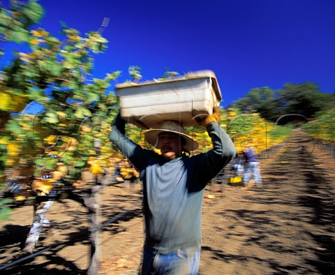 Harvesting Cabernet Sauvignon grapes of Stags Leap   Wine Cellars Napa California    Stags Leap AVA
