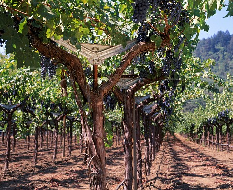 Cabernet Sauvignon vines trained on a Split Cordon   trellis system in Staglin Family Vineyard   Rutherford Napa Valley California