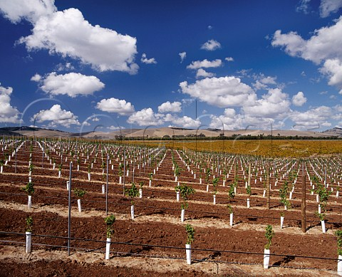 Newly planted section of the Centenary Hill Shiraz   vineyard of Orlando Rowland Flat South Australia    Barossa Valley