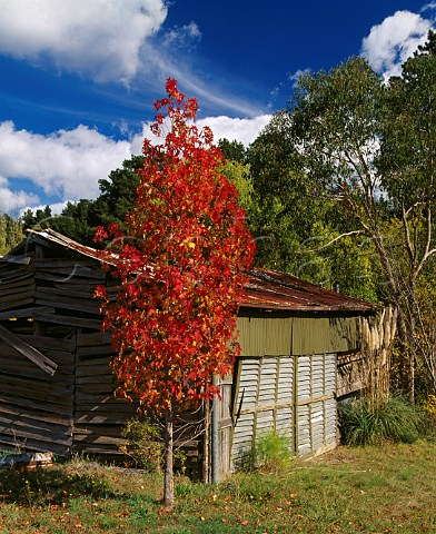 Autumnal tree by old corrugatediron roofed barn Lenswood South Australia   Adelaide Hills