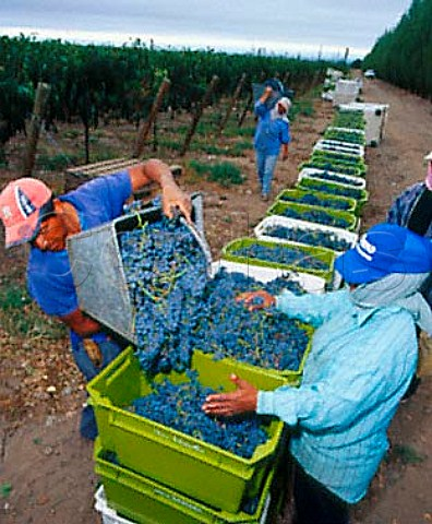 Harvesting Merlot grapes in vineyard of Salentein   Tunuyan Mendoza province Argentina  Uco Valley
