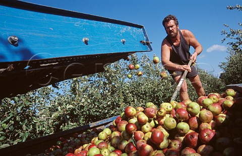 Cider apple harvest Somerset England