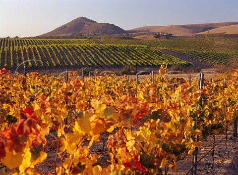 Autumnal vineyards of Laetitia with its winery in the distance  Arroyo Grande San Luis Obispo Co California Arroyo Grande