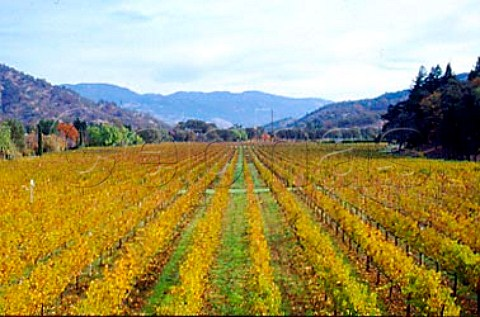 Organic Merlot vineyard of Bonterra   Ukiah Mendocino Co California