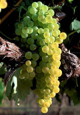 Ugni Blanc grapes South Africa