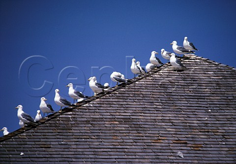 Seagulls the state bird of Utah on roof of a building by the Great Salt Lake Utah USA