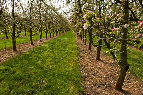 Spring blossom in cider apple orchard Almondsbury Avon England