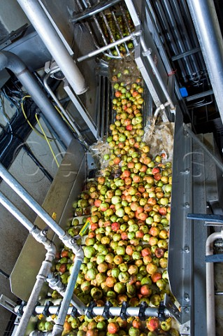 Cider Apples being washed and processed at Thatchers cider Sandford Somerset England
