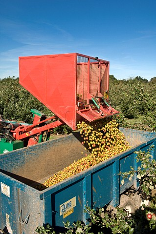 Unloading hopper of machineharvested cider apples at Thatchers Cider Orchard Sandford Somerset England