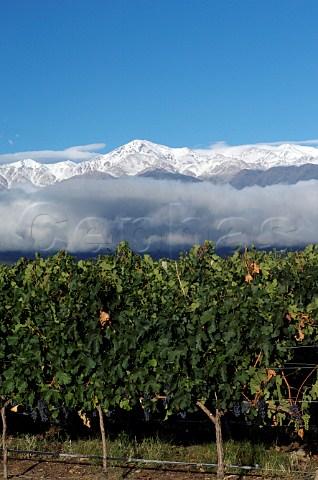 Snow capped Andes mountains behind Cabernet Sauvignon vineyard of Bodegas Salentein Tunuyan Mendoza Argentina