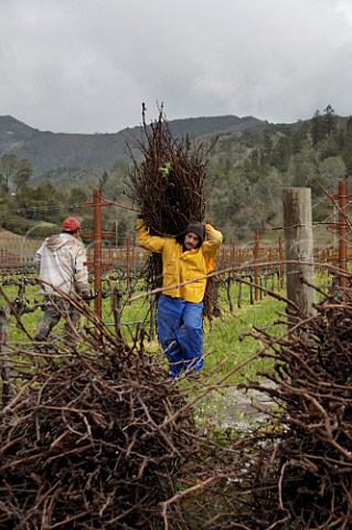 Winter pruning of vines Calistoga Napa Valley California