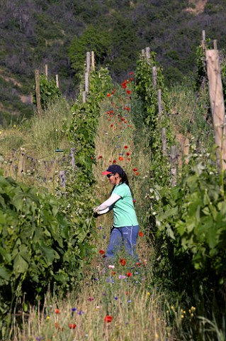 Raising the wires to lift the foliage of Carmenre vines in Clos Apalta vineyard of Lapostolle Colchagua Valley Chile