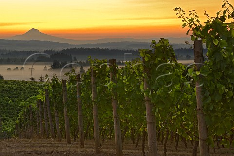 Sunrise over Mt Hood and a fog filled Willamette Valley viewed from Five Mountain Vineyard of Elk Cove Oregon USA  Chehalem Mountains  Willamette Valley