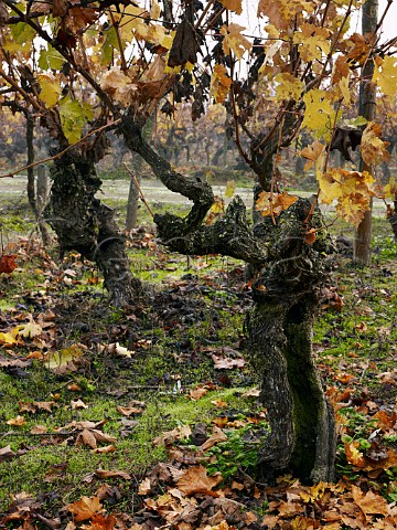 Ancient ungrafted Cabernet Franc vines in OFournier Linares vineyard Maule Chile
