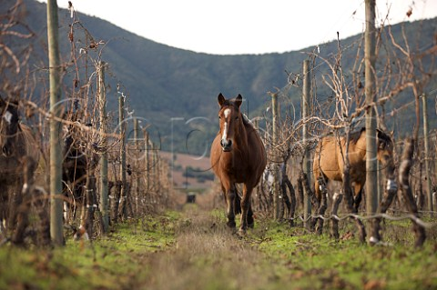Horses in organic vineyard of Caliterra Colchagua Valley Chile