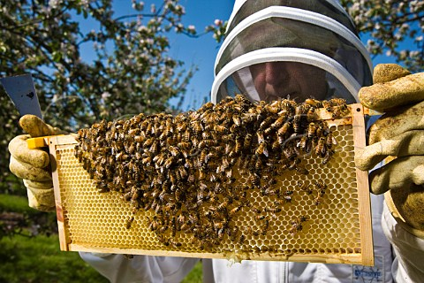 Beekeeper checking his honey bees in a cider apple orchard Sandford  North Somerset England