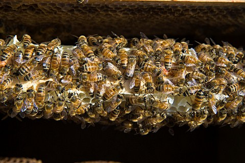 Honey bees in a beehive Sandford  North Somerset England