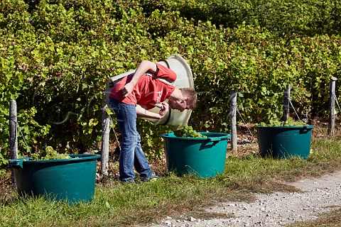 Hod carrier tipping Sauvignon Blanc grapes into tub Sancerre Cher France  Sancerre