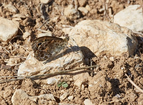 Wall butterfly Lasiommata megera on the limestone soil in vineyard at Chavignol Cher France  Sancerre