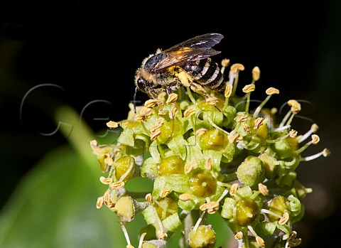 Ivy Bee on ivy flowers   Ferring near Worthing Sussex England