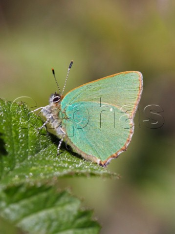 Green Hairstreak butterfly Sheepleas East Horsley Surrey England