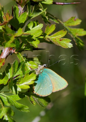 Green Hairstreak on hawthorn Cotley Hill Heytesbury Wiltshire England