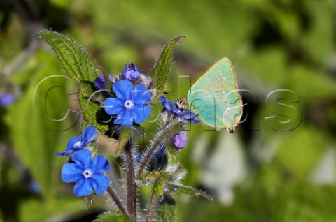 Green Hairstreak nectaring on Green Alkanet flower Fairmile Common Esher Surrey England