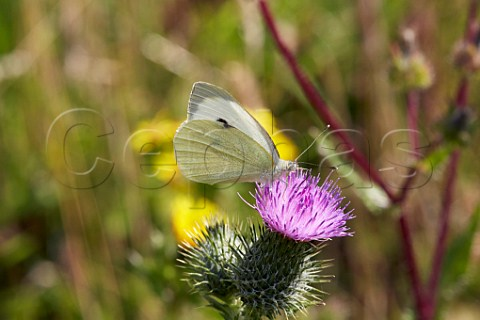 Large White butterfly nectaring on thistle Leith Hill Coldharbour Surrey England