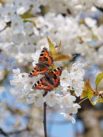 Pair of courting Small Tortoiseshell butterflies on Cherry flowers Hurst Meadows East Molesey Surrey UK