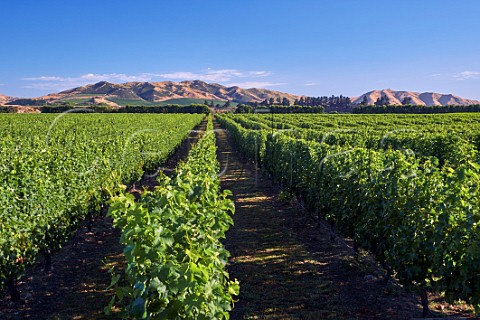 Wakefield Downs vineyard of Babich planted entirely with Sauvignon Blanc Seddon Marlborough New Zealand  Awatere Valley