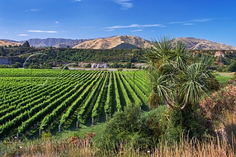 Tupari Vineyard above the Awatere River planted with Sauvignon Blanc which is contracted to Greywacke Seddon Marlborough New Zealand  Awatere Valley