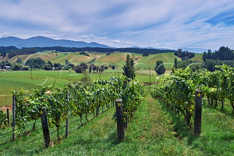 Chardonnay vines in Rosies Block vineyard of Neudorf Upper Moutere Nelson New Zealand