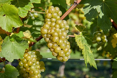 Bunches of Chardonnay grapes in Arch Peak vineyard of Raimes Sparkling Wine Hinton Ampner Hampshire England
