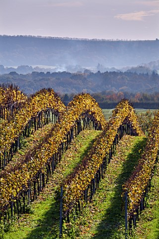 Vineyard of Roebuck Estates with the South Downs in distance Upperton near Petworth Sussex England