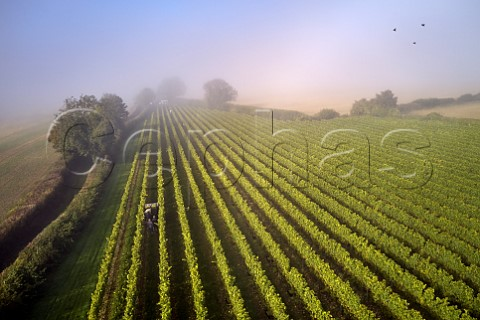 Collecting crates of harvested Chardonnay grapes on a misty harvest morning in Arch Peak vineyard of Raimes Sparkling Wine Hinton Ampner Hampshire England