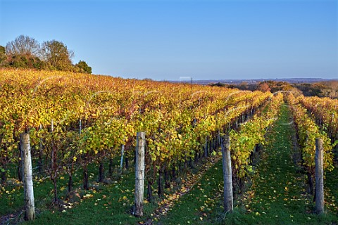 Ditchling vineyard of Plumpton College Hassocks Sussex England