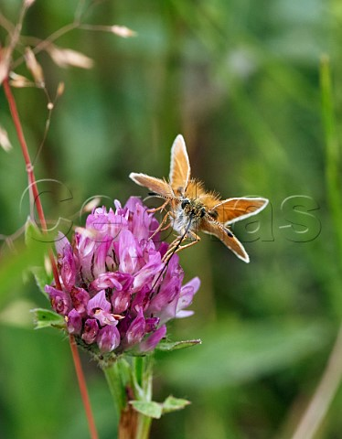 Essex Skipper nectaring on clover  proboscis fully extended Hurst Meadows East Molesey Surrey England
